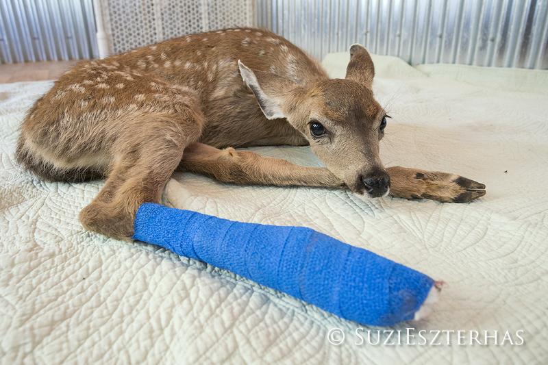 fawn with broken leg