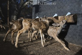 Growing fawns drinking formula
