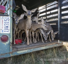 Young deer about to be released back into the wild